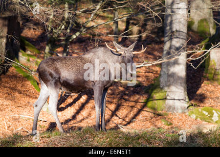 Alces alces moose elk antler deer Elchhirsche Eurasian males Moose - Stock Photo