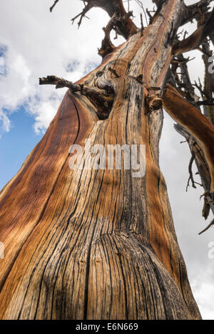 Weathered snag in Idaho's Sawtooth Mountains. - Stock Photo