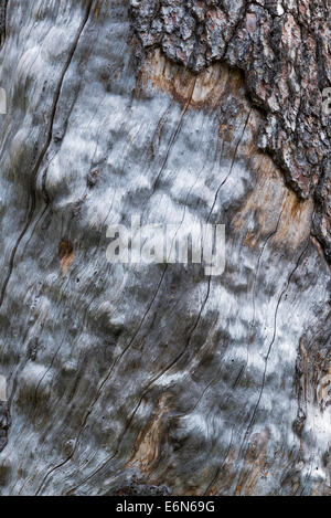 Weathered tree trunk in Idaho's Sawtooth Mountains. - Stock Photo