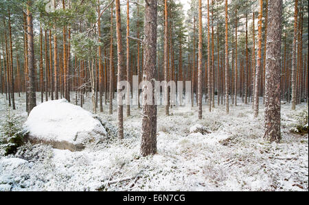 Young coppiced pine ( pinus sylvestris ) forest , Finland - Stock Photo