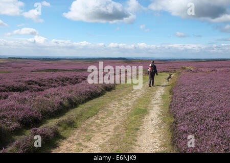 Walker on North York Moors surrounded by flowering heather - Stock Photo