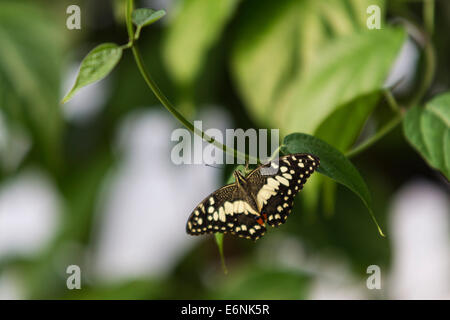 A Common Lime Butterfly (Papilio demoleus), in the Butterfly Paradise enclosure at the London Zoo - Stock Photo
