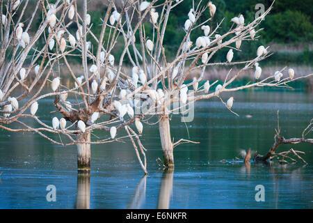 Flock of Cattle Egrets (Bubulcus ibis) in roosting trees at dusk. Ivars Lake. Lleida province. Spain. - Stock Photo