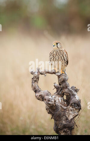 Common Kestrel (Falco tinnunculus) female perched on branch. Albufera Natural Park. Valencia Community. Spain. - Stock Photo