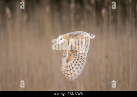 Barn Owl (Tyto alba) in flight - Stock Photo