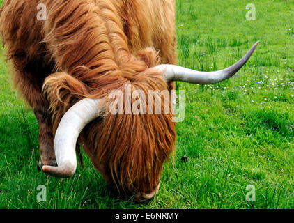 The red flowing coat and long curved horns of a pedigree Highland cow, Glen Uig, Isle of Skye, Scotland - Stock Photo