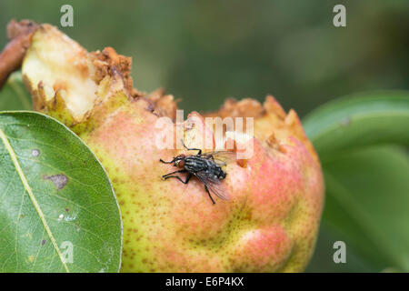 Sarcophaga carnaria. Common Flesh Fly on an eaten pear in an English garden - Stock Photo