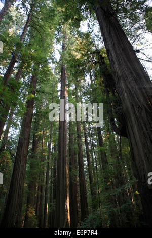 The Redwood trees in the Humboldt Redwoods State Park on the Avenue of the Redwoods. - Stock Photo