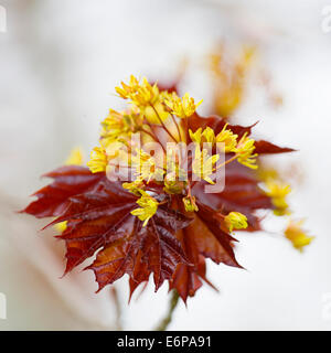 Flower of a red maple, Acer rubrum, in the early spring. - Stock Photo