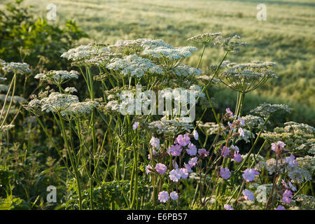 A roadside hedgerow and wildflowers in early morning light near Harlestone in Northamptonshire, England. - Stock Photo