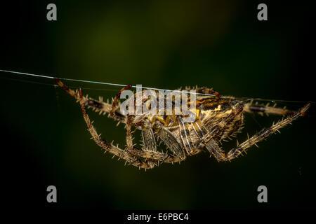 Wildlife - Female European garden spider on a thread clearly showing epigyne, UK - Stock Photo