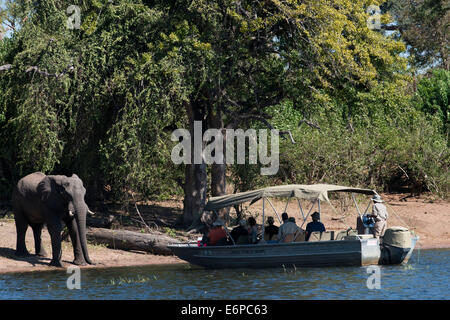 From Victoria Falls is possible to visit the nearby Botswana. Specifically Chobe National Park. Elephants Crossing: - Stock Photo