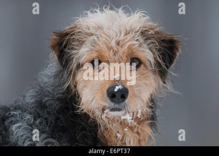 Bosnian Coarse-haired Hound, mongrel, portrait with snow - Stock Photo