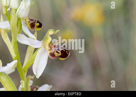 Bee Orchid  Bienenragwurz Ophrys apifera blossom - Stock Photo
