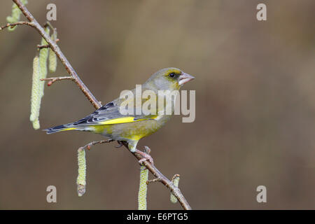 Greenfinch (Carduelis chloris) perched on a flowering Hazel branch (Corylus avellana), North Rhine-Westphalia, Germany - Stock Photo