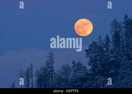 The full moon rising over a winter forest, Tyrol, Austria - Stock Photo