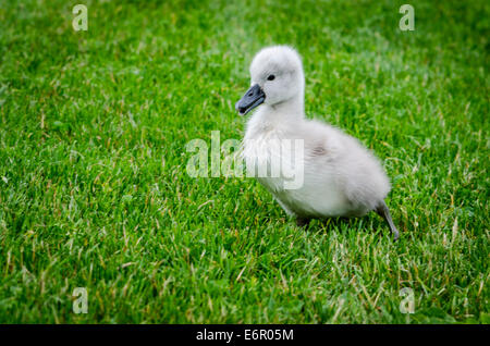A very young cygnet on its own in grass - Stock Photo