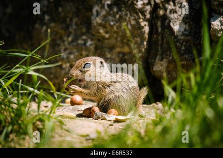 European ground squirell (Spermophilus citellus) - Stock Photo