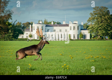 Stag Fallow Deer in front of American Ambassador's Residence in Dublin's Phoenix Park - Stock Photo