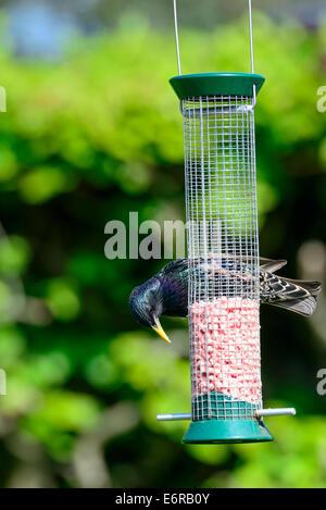 In an urban British garden, a wild adult common starling (Sturnus vulgaris) feeds on the contents of a birdfeeder. - Stock Photo