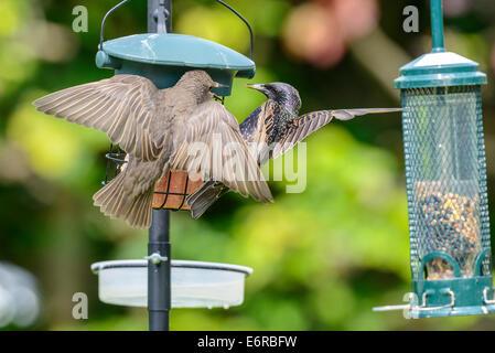 An adult common starling (Sturnus vulgaris) along with a juvenile on a bird feeder in an urban British garden. - Stock Photo