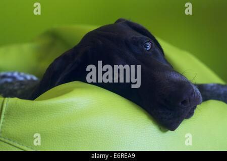 German Shorthaired Pointer, 5 months old, laying down on a green bean bag and looking directly into the camera - Stock Photo