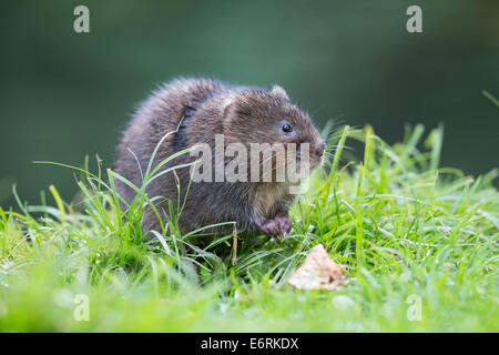Eurasian Water Vole (Arvicola amphibius) on the bank of a stream - Stock Photo