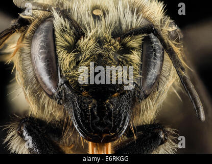 Megachile melanophaea ,F,Face,MI, Alger County 2014-03-26-114820 ZS PMax 13705355694 o A northern leaf-utter. Note - Stock Photo
