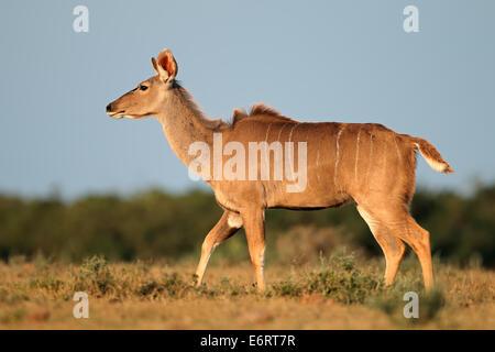 Female kudu antelope (Tragelaphus strepsiceros) against a blue sky, South Africa - Stock Photo