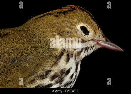 Seiurus aurocapilla, U, side face_2013-03-07-150748 ZS PMax_8539568402_o Ovenbird , collected with permits by Lights - Stock Photo