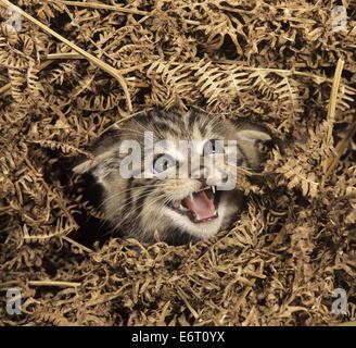 Wild Cat - Felis silvestris - Stock Photo