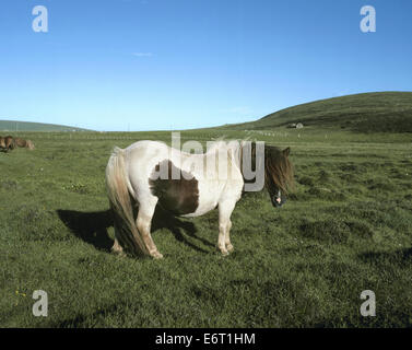 Shetland Pony - Equus ferus caballus - Stock Photo