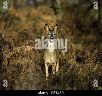 Roe Deer - Capreolus capreolus - Stock Photo