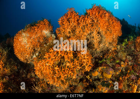 Colony of orange Bryozoans, Pentapora fascialis, Vis Island, Adriatic Sea, Croatia - Stock Photo