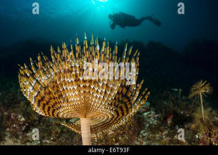 Spiral Tube Worm and Diver, Spirographis spallanzani, Lastovo Island, Adriatic Sea, Croatia - Stock Photo
