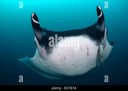 Giant Manta, Manta birostris, Socorro, Revillagigedo Islands, Mexico - Stock Photo
