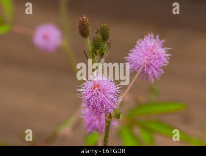 Sensitive plant flowers (Mimosa pudica) - Stock Photo