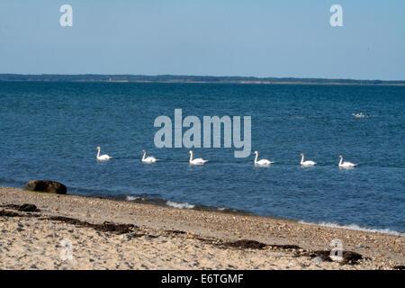 Five Mute Swans Swimming Near Gardiners Bay Atlantic Ocean Long Island New York - Stock Photo