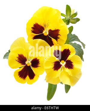 Viola flowers isolated on white background, top view, close up view - Stock Photo