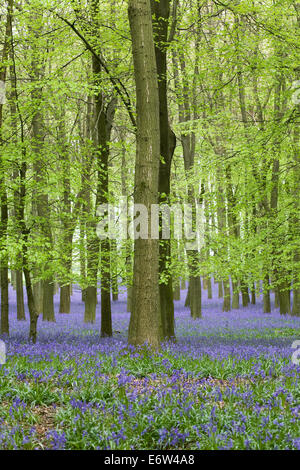 Hyacinthoides non scripta. An English bluebell wood in Spring. - Stock Photo
