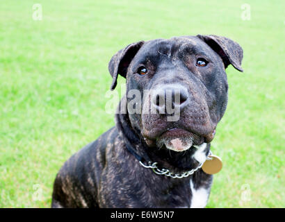 Beautiful English Staffordshire Bull Terrier posing for the camera in a London park. - Stock Photo
