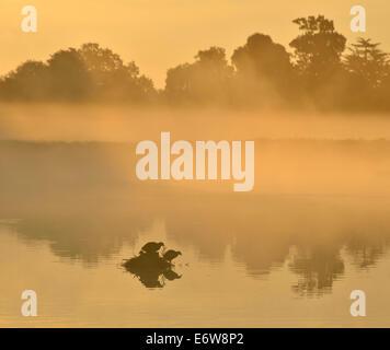 Misty sunrise over Leg of Mutton pond, with coots in nest, Bushy Park, London, UK - Stock Photo