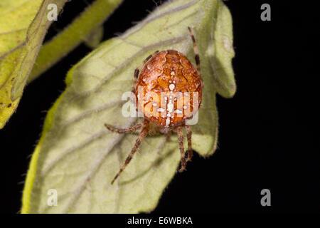 Araneus diadematus European garden spider Gartenkreuzspinne - Stock Photo