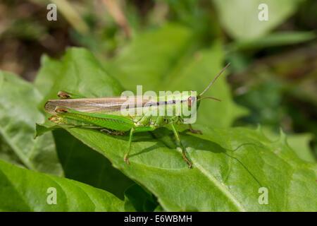 Caelifera Grashuepfer Heuschrecken Kurzfuehlerschrecken Lauchschrecke Mecostethus parapleurus - Stock Photo