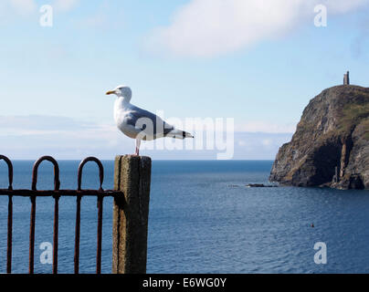 Herring gull and Bradda head from Port Erin, Isle of Man - Stock Photo
