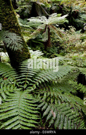 Tree ferns in the rainforest of Te Urewera National Park, North Island, New Zealand - Stock Photo