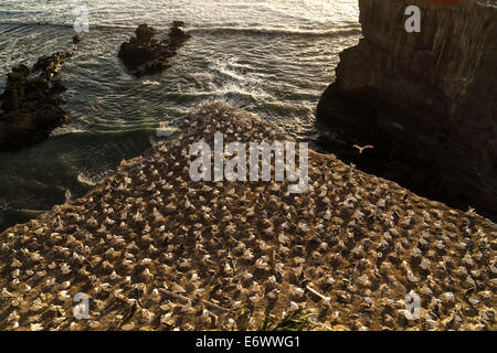 Close-up of gannet colony at Muriwai Beach, west coast near Auckland, North Island, New Zealand - Stock Photo