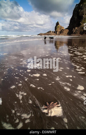 Starfish near Lion Rock on Piha Beach, Auckland, North Island, New Zealand - Stock Photo