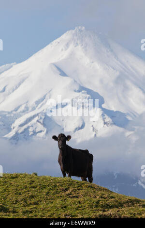 Dairy cow grazing on a meadow in front of the Mt Egmont volcano, Mount Taranaki snow cone, North Island, New Zealand - Stock Photo