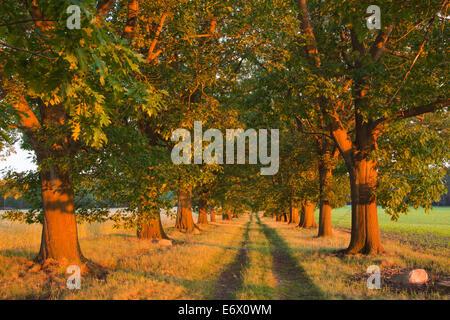 Alley of red oaks, Niederlausitz, Brandenburg, Germany - Stock Photo